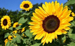 Sunflower Maker Festival at Oak Hill Farm